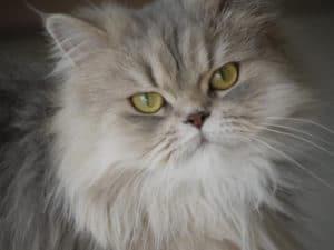 El pelo sano de nuestro gato