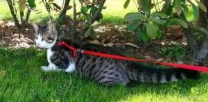 Pasear a tu gato con correa