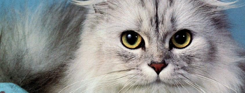 pienso taurina gatos