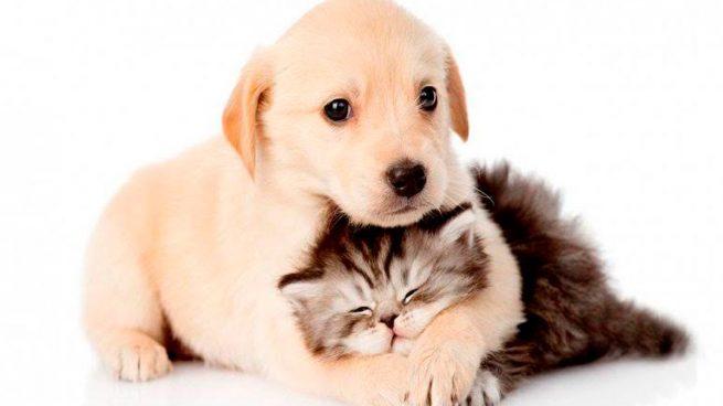 Vacunas Gatos Calendario.Perros Y Gatos Calendario De Vacunaciones Que Debes Conocer