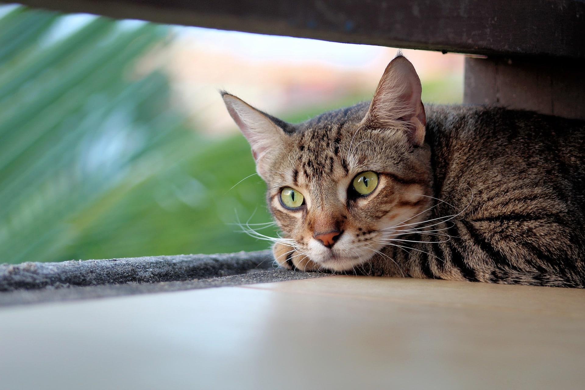 Cómo detectar irregularidades de salud con la orina del gato
