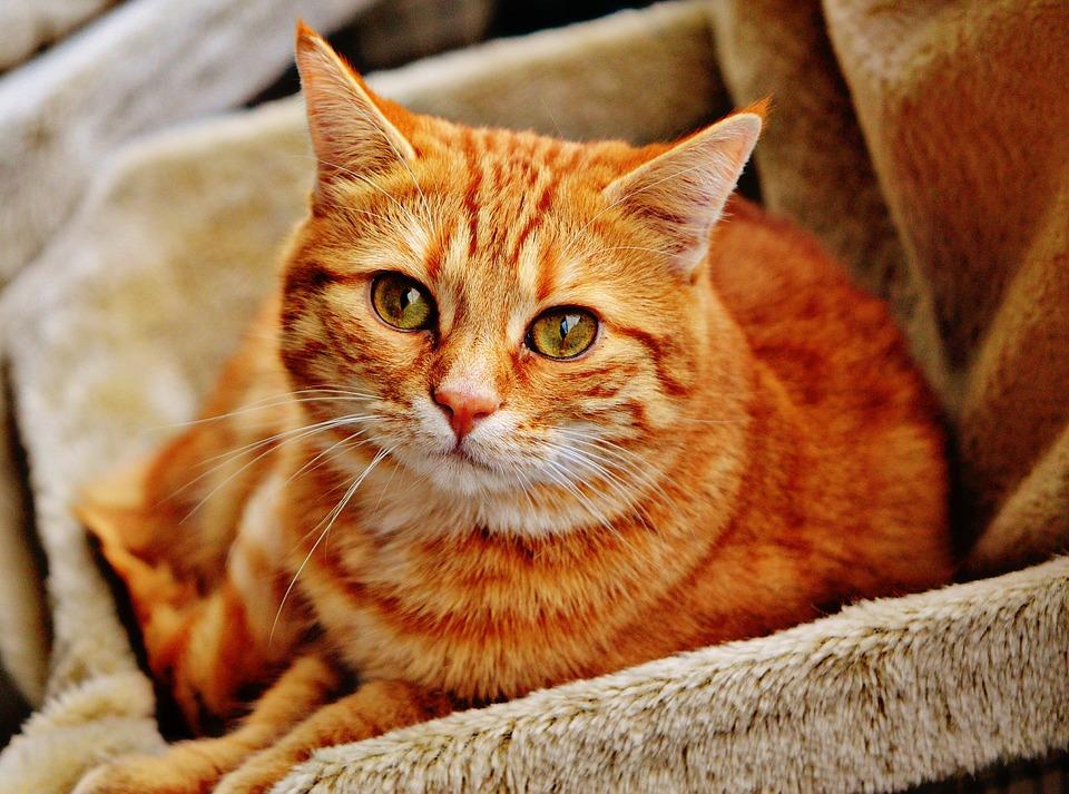 Conoce los cuidados que necesita tu gato tras la esterilización