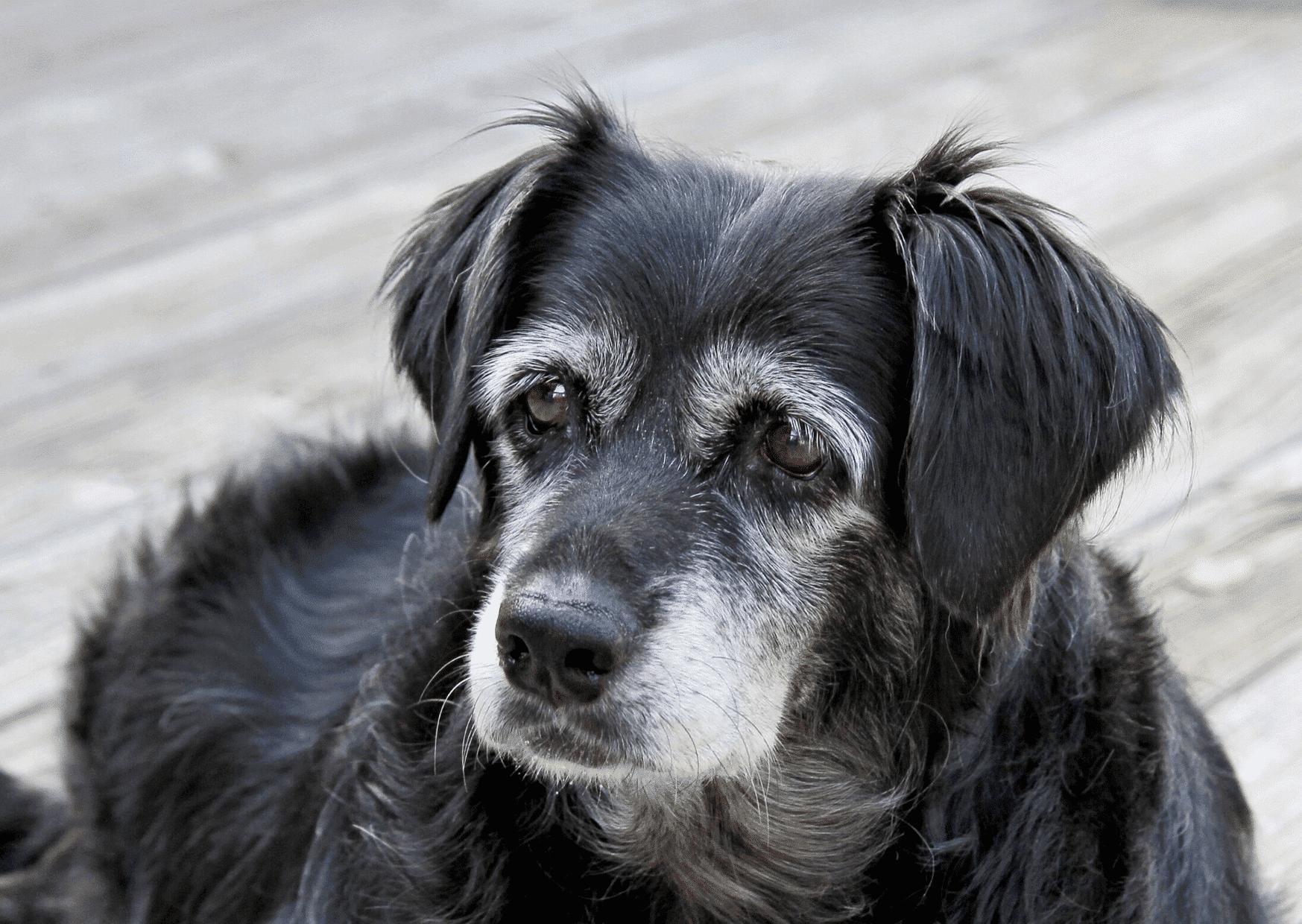 aliemntacion perro senior